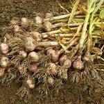 Zbiór i przechowywanie warzyw cebulowych