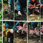 Sadzenie krzewu